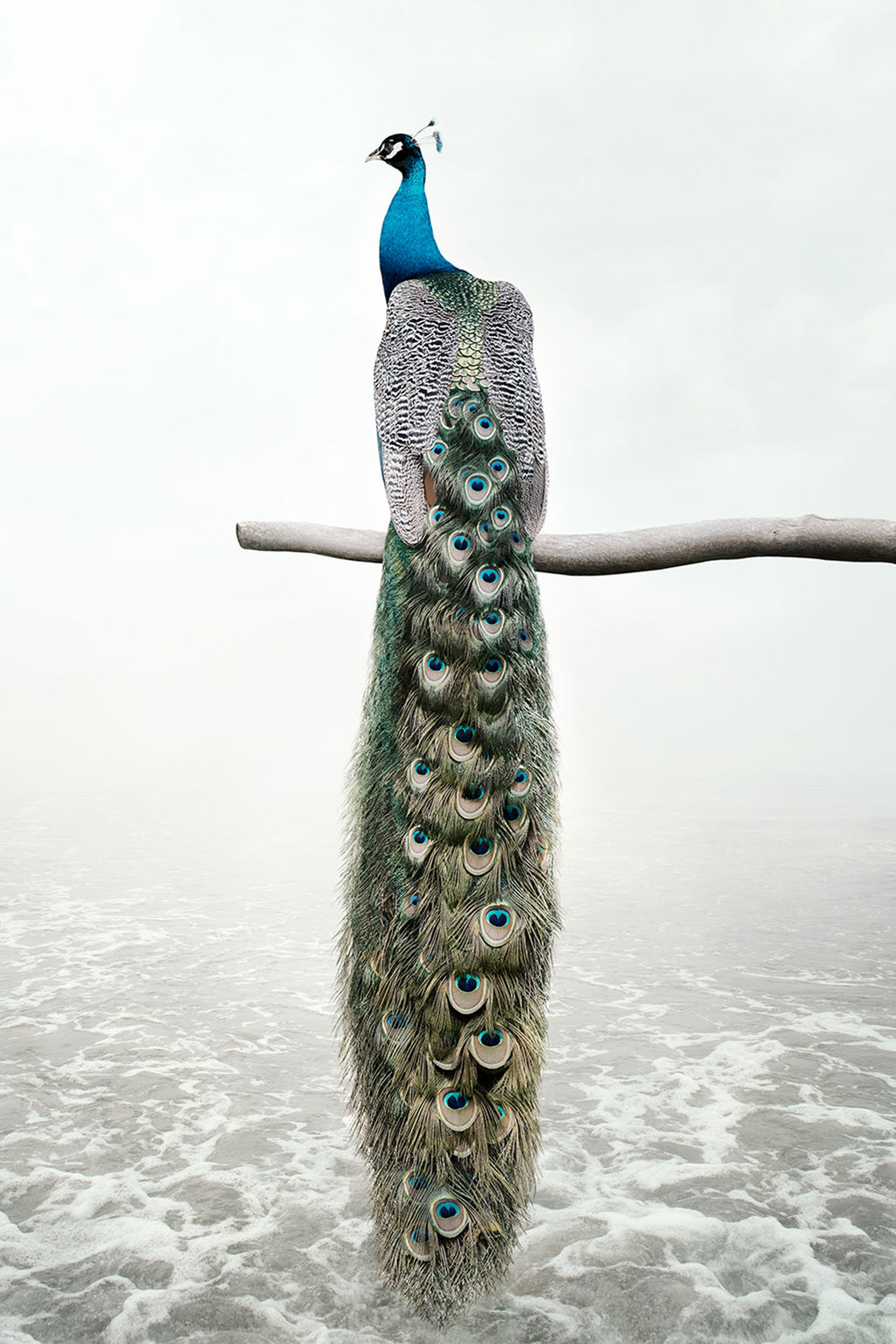 Patience Peacock - Lustre.art