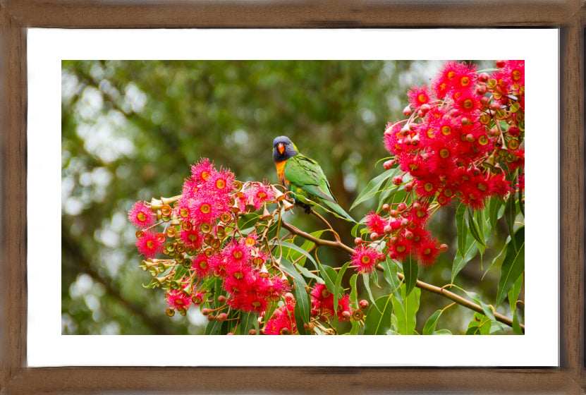 Lorikeet Looks - Animals and Australian Fauna