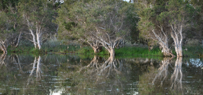 Melaleuca River - Landscapes - Facemount