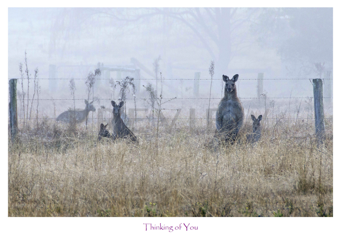 Greeting and Gift Cards - Pack of 5 - Roos in the Mist- Thinking of you