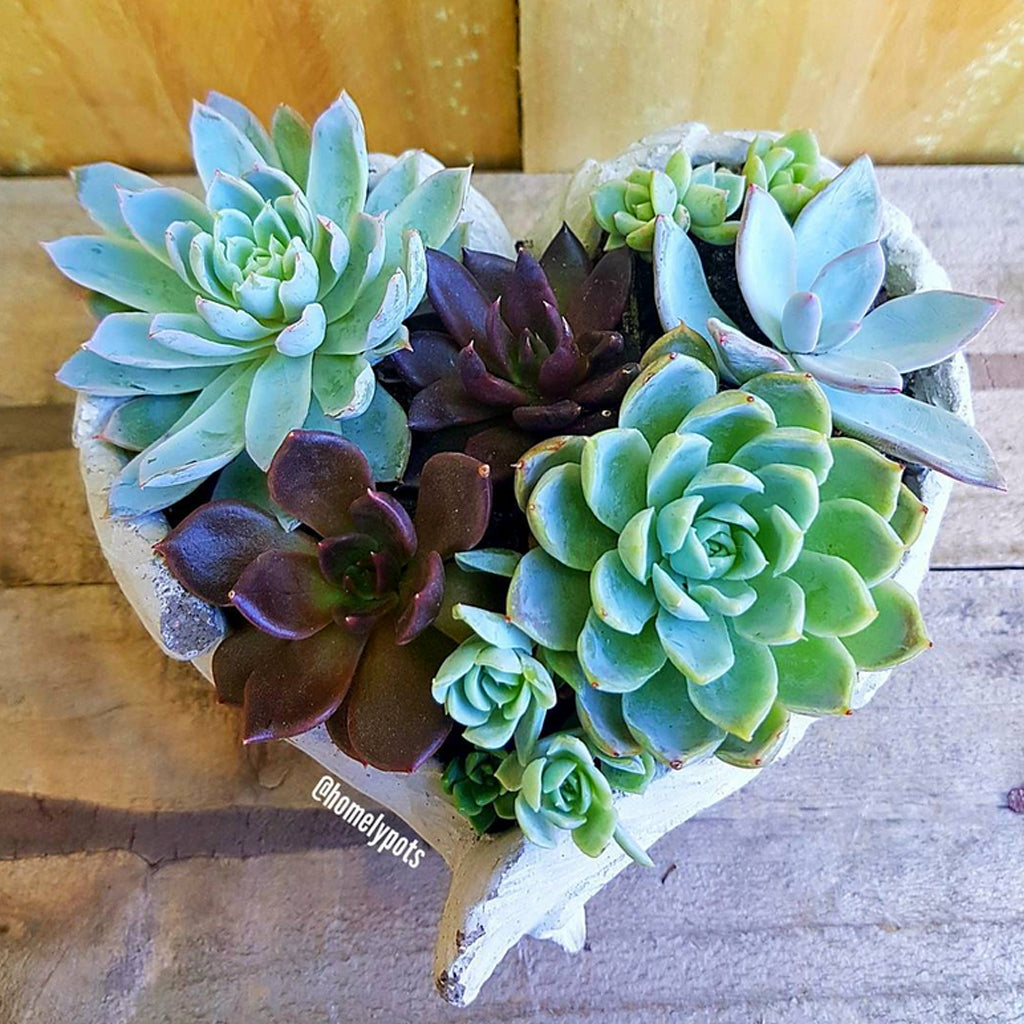 Homelypots Succulent Arrangement