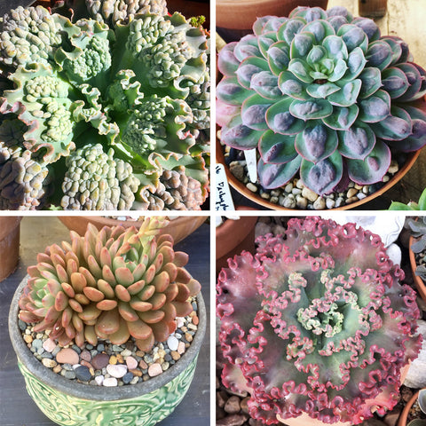 Kylie  Frilly Succulent Collection