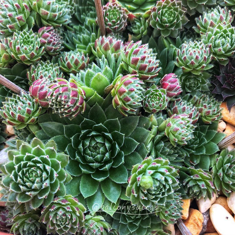 James' Sempervivums