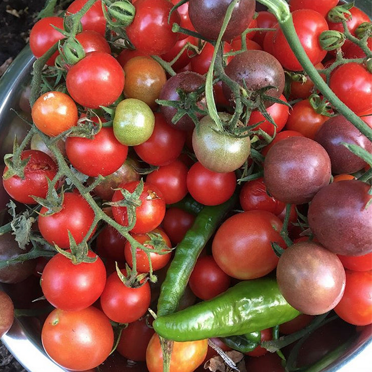Fresh tomatoes from Juvy's garden
