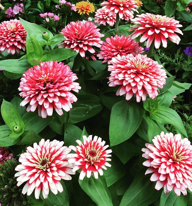 Low maintenance Zinnia