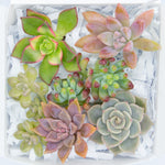 Succulent Cuttings Pack of 6