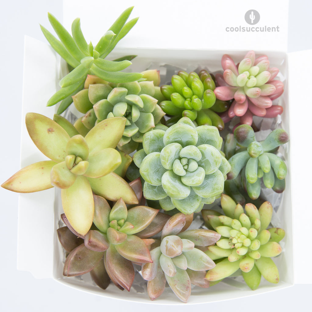 Succulent Cuttings Pack of 10