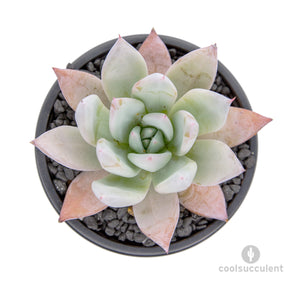 echeveria mexican giant