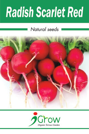 Naturally Treated Organic Radish Scarlet Red 50 Seeds