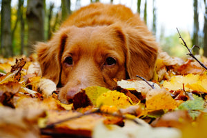 Puppy in Fall Leaves