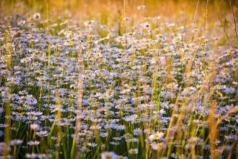 Chamomile Flower Field