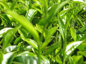 Green Tea Leaves - MatchaAlternatives