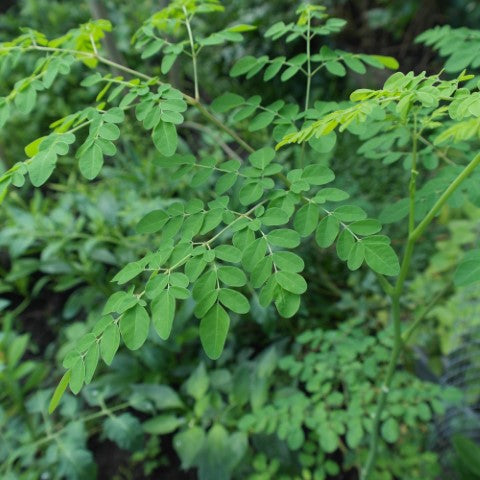Moringa plants are highly adaptogenic