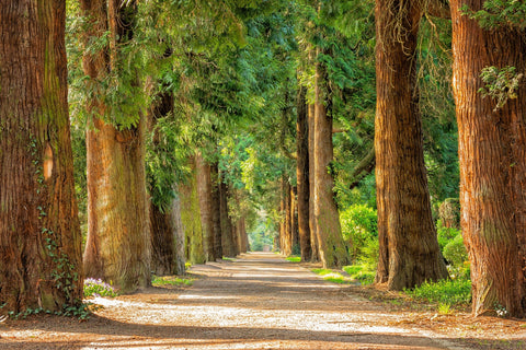 Large trees lining a dirt road