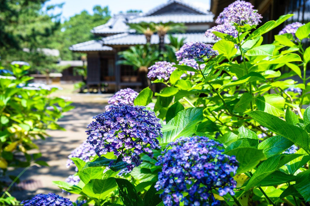 All About Hydrangeas: Name, History & Symbolism