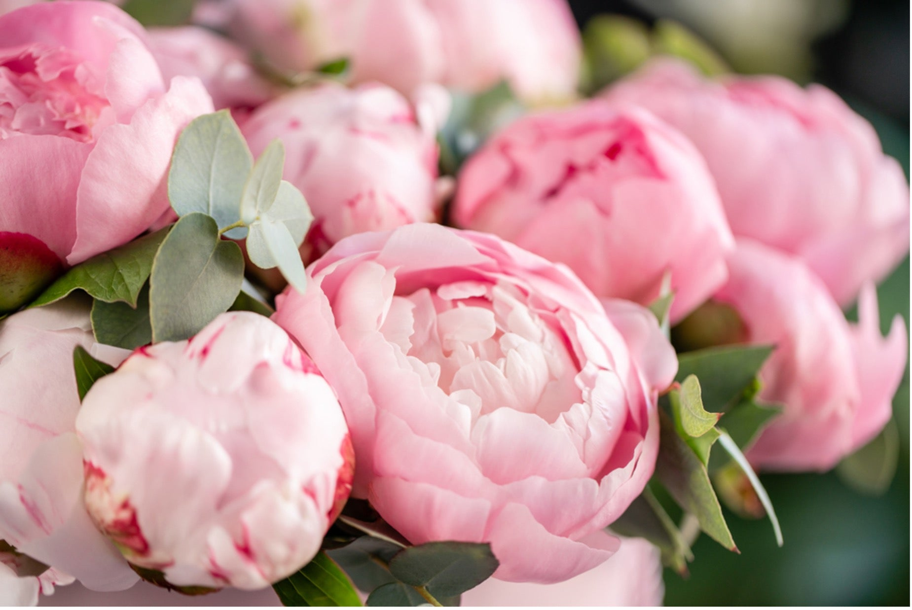 All About Peonies: Name, History & Meaning