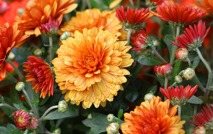 Giving flowers to guys - chrysanthemums