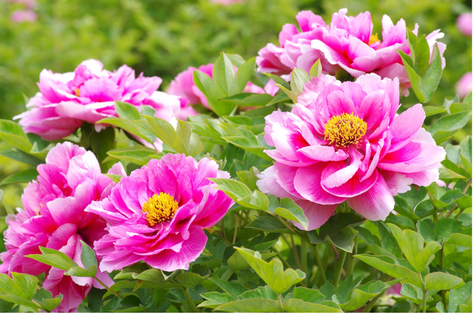 The Peony Flower in History