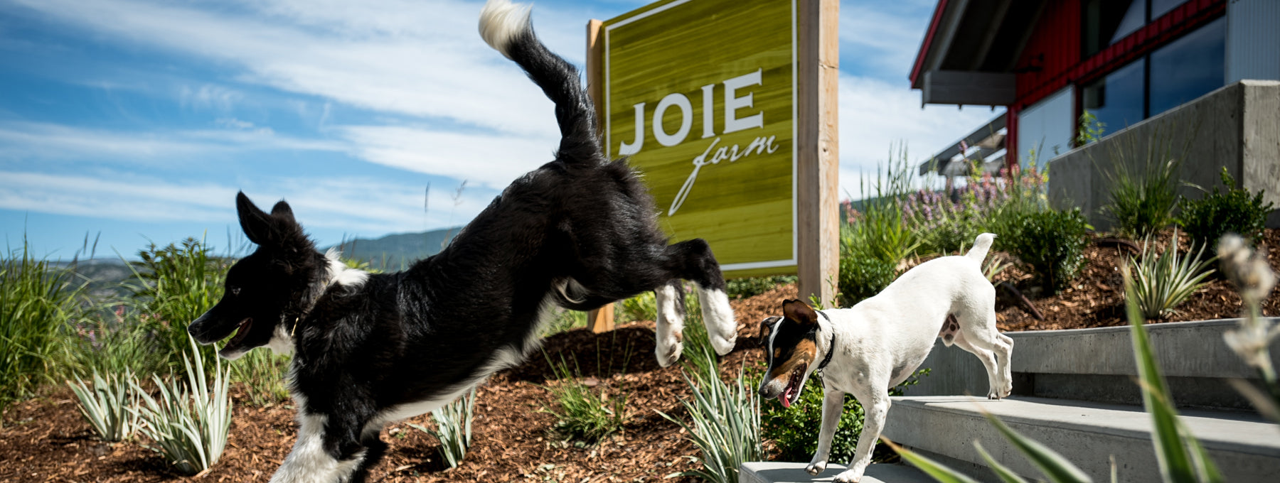JoieFarm dogs outside the JoieFarm Tasting Room