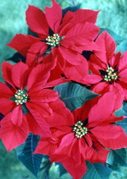 """Christmas Poinsettia"" Boxed Christmas Cards Original Photograph by Jim Tonner"