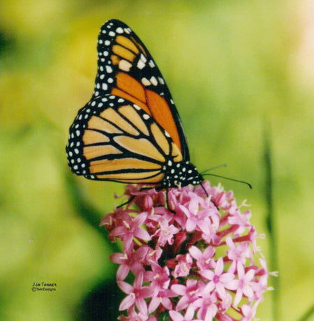 """Monarch Butterfly"" 11oz Ceramic Mug Original Photograph by Jim Tonner"