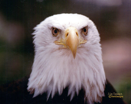 Bald Eagle Note Card