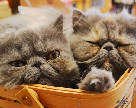Harry and Grace the Cats in a Basket Note Cards