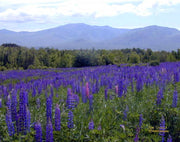 Sugar Hill Lupines Note Cards