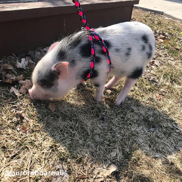 OinkBox Pig Harness