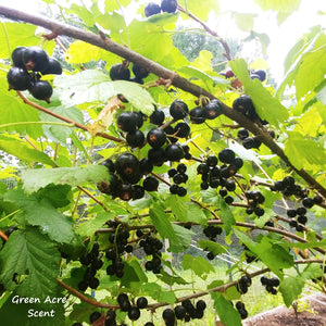 Black Currants | Green Acre Scent | Botanical Skincare Products Made in Canada
