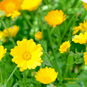 Calendula: A Ray of Sunshine in Your Garden