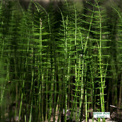 Horsetail | Green Acre Scent