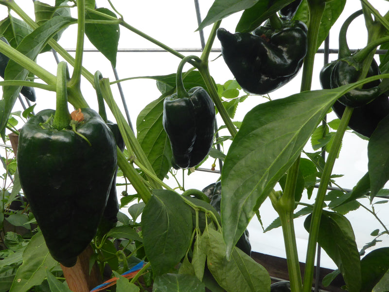 Pepper Hunter Goes Versatile with the Poblano Pepper