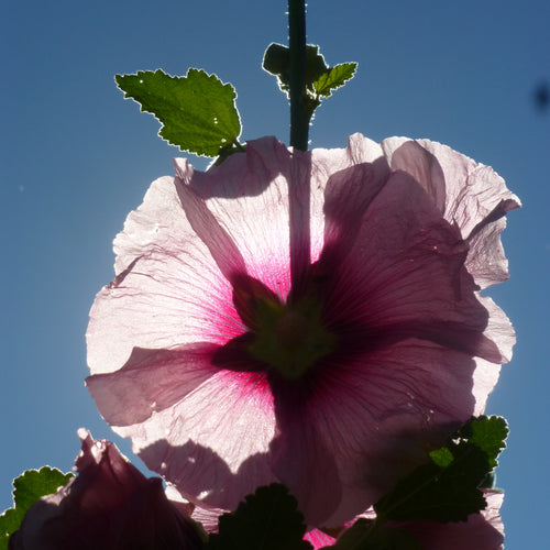 Heirloom Hollyhock Seeds