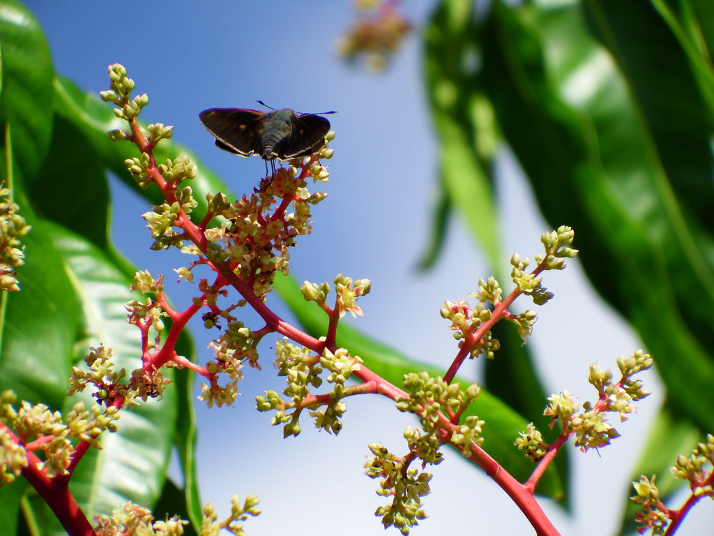 Little Black Moth on a Mango Flower