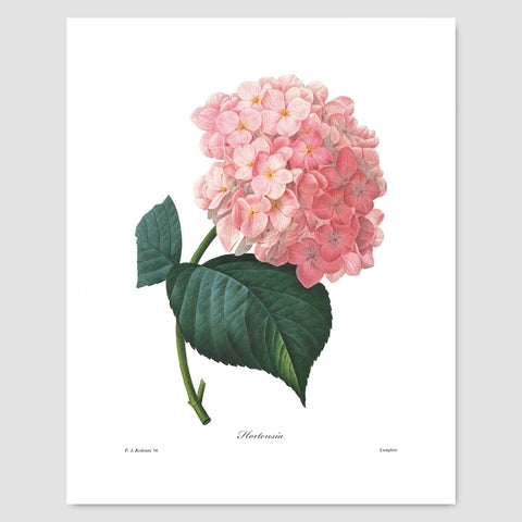 Hydrangea Art (Pink Flower Print, Botanical Summer Wall Decor) Pierre Redoute - Unframed