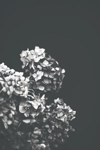 Black and White Hydrangea Print