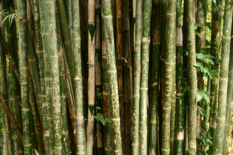 Close up of Bamboo Growing in a field