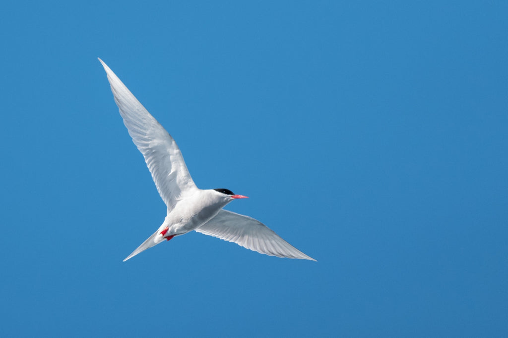Antarctic Tern - Photo by David Lindo
