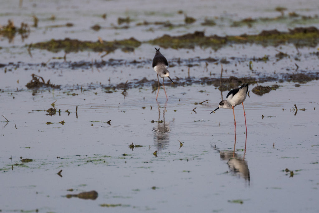 Black-Winged Stilt - Photo by David Lindo
