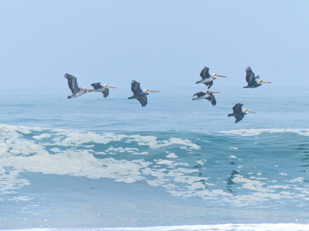 Chilean Pelicans - Photo by David Lindo