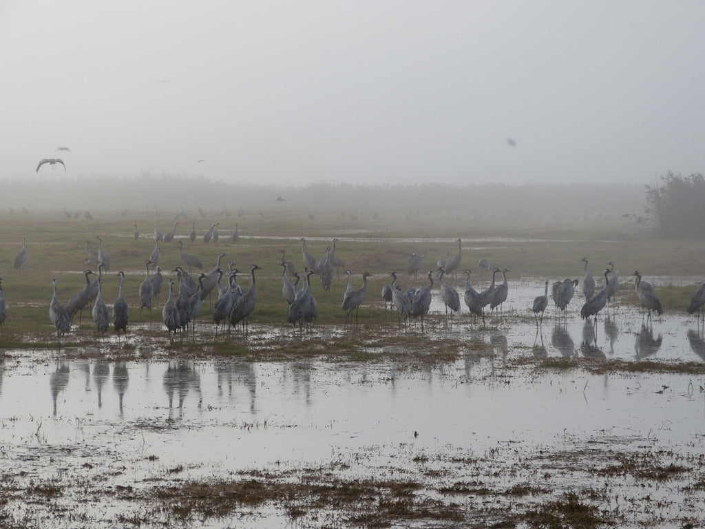 Common Cranes - Photo by David Lindo