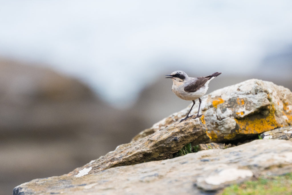 Northern Wheatear - Photo by David Lindo