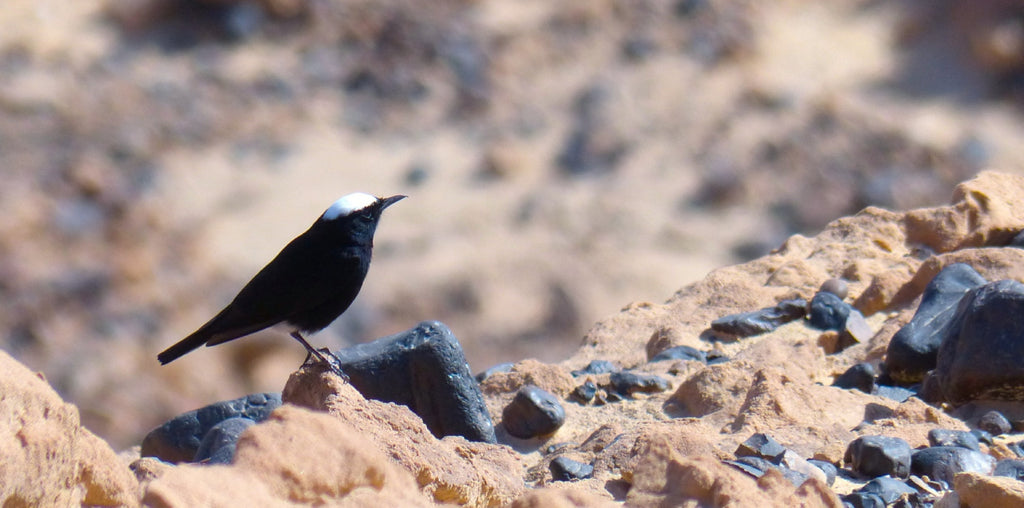 White-Crowned Black Wheatear - Photo by David Lindo