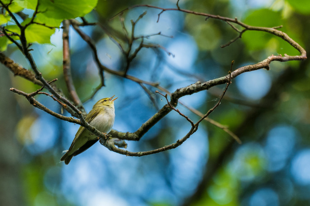 Wood Warbler - Photo by David Lindo