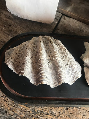 A large whole conch shell and a giant clam shell