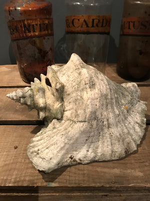 A weathered conch shell specimen- light tone