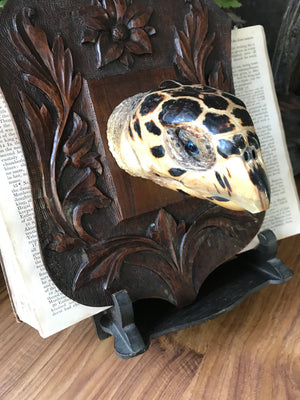 An antique mounted turtle head on a black forest Arts and Crafts shield