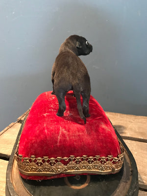 A miniature taxidermy puppy dog specimen on a red velvet cushion stand