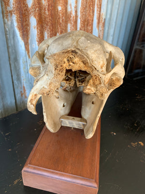 A horse skull mounted on a wooden plinth